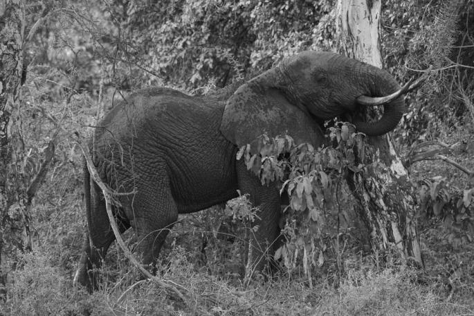 elephantpushing tree