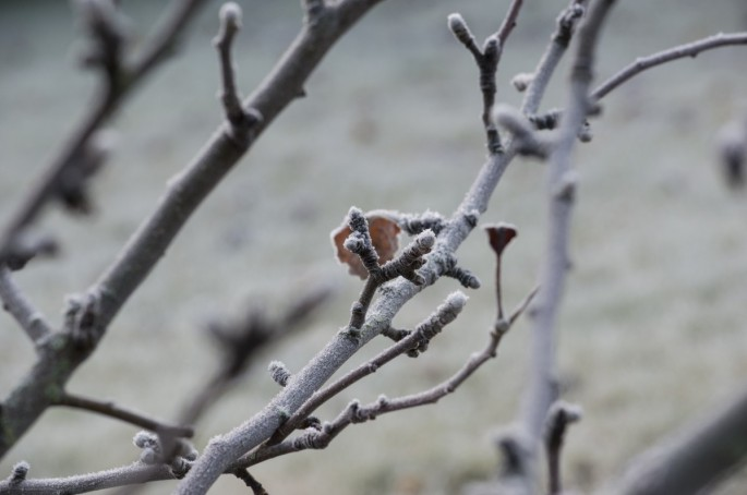tree bud winter