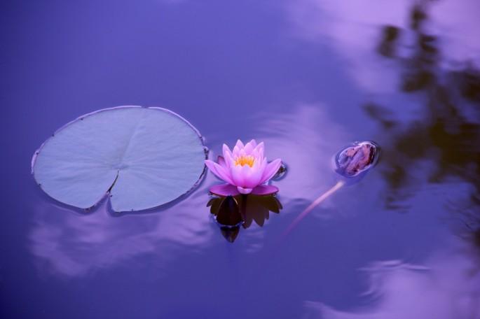 lotus_natural_water_meditation_zen_yoga_yoga_meditation_spirituality-652397.jpg!d